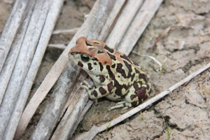 leopard-toad